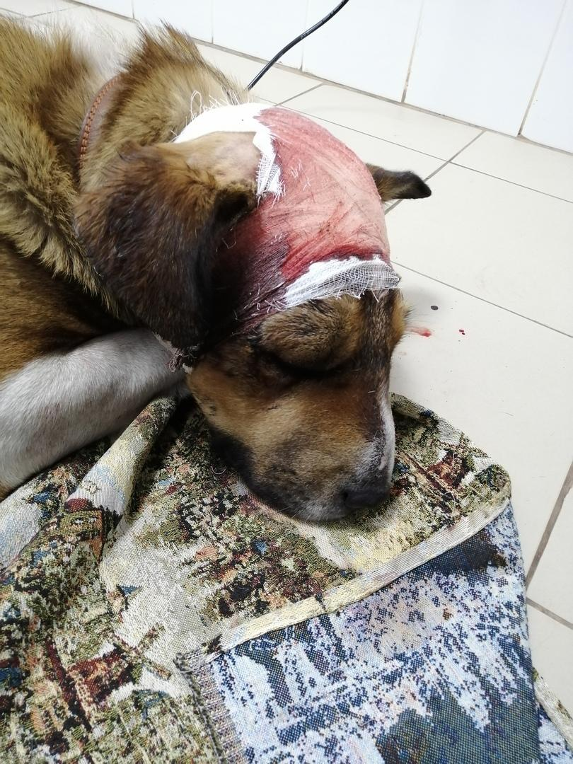 Фото Травмы оказались страшнее: избитую хозяином собаку обследовали в Новосибирске 3