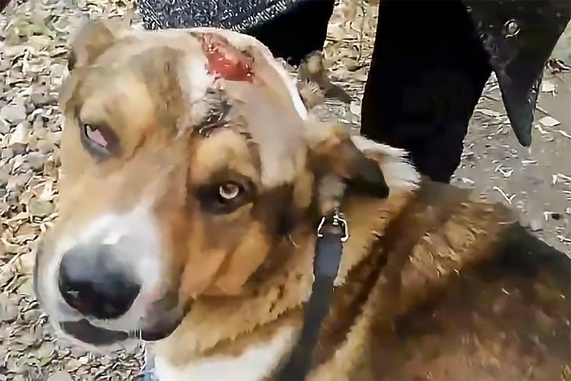 Фото Травмы оказались страшнее: избитую хозяином собаку обследовали в Новосибирске 2