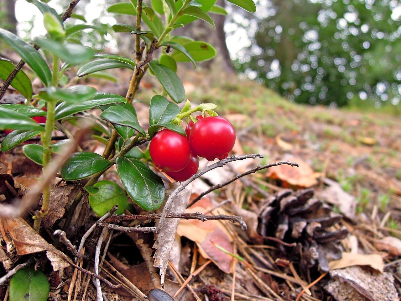 Фото Врачи: ягода долголетия защитит от заражения коронавирусом 2