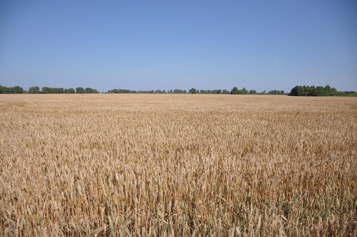 Фото Рекордный урожай зерновых планируют собрать в Новосибирске 2