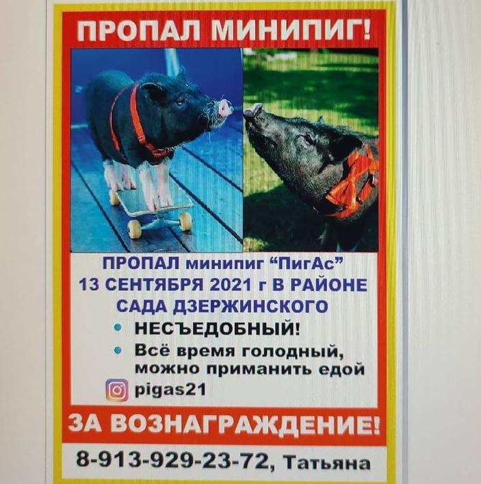 Фото Жительница Новосибирска разыскивает сбежавшего мини-пига 2