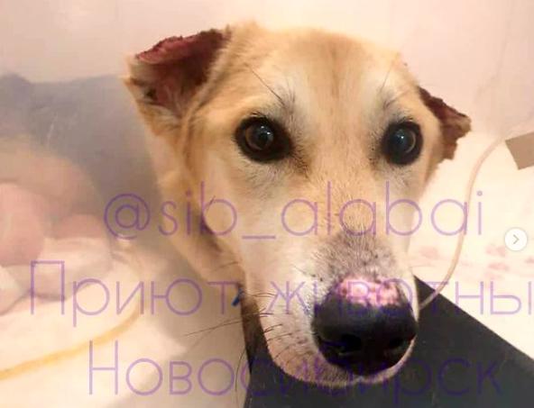 Фото Известная общественница Лира Байсеитова хочет забрать безлапого пса Лучика из Новосибирска в Женеву 2